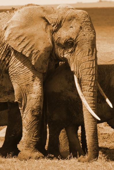 Elephant Serpia cropped